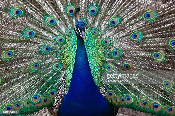 Peacock at Taronga Zoo.