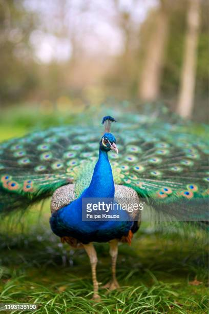 peacock at the park - nature reserve stock pictures, royalty-free photos & images