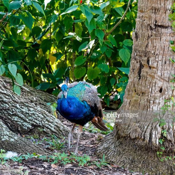 Peacock between two trees