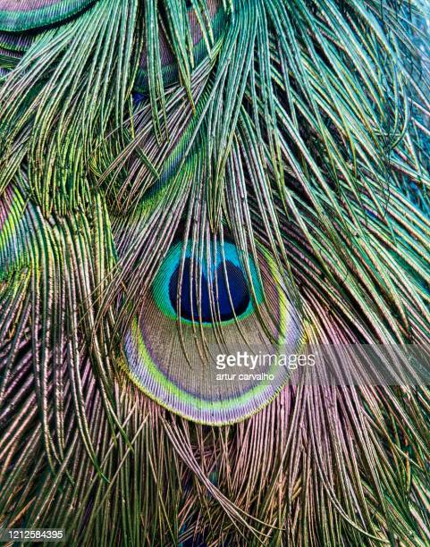 peacock bird colors - zoology stock pictures, royalty-free photos & images