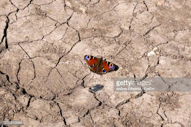 peacock butterfly, inachis io, resting in spring sunlight on dry, cracked ground - flower moon stock pictures, royalty-free photos & images