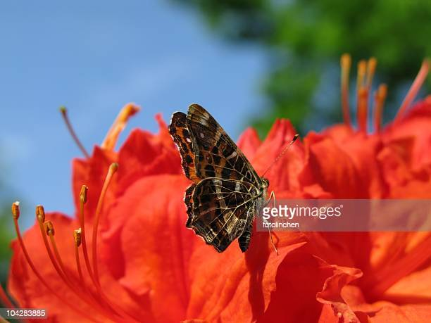 peacock butterfly - hairy bush stock pictures, royalty-free photos & images