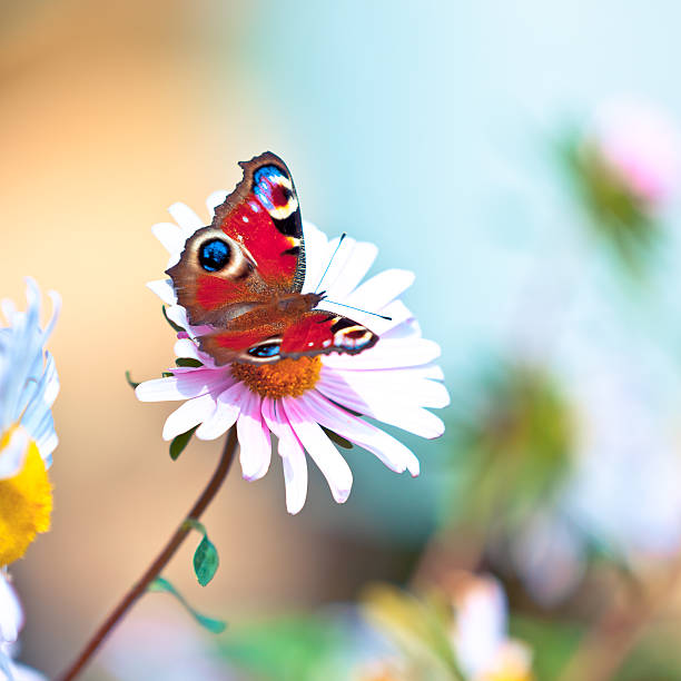 Peacock butterfly pollinating daisy flower