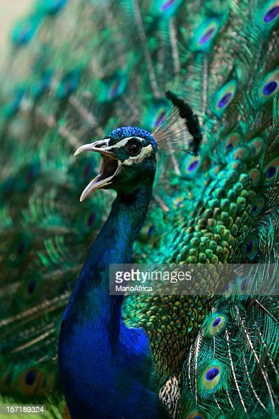 Peacock Calling
