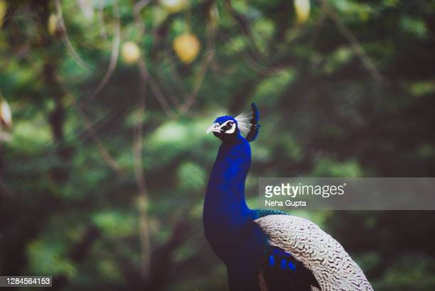 peacock. closeup. - neha gupta stock pictures, royalty-free photos & images