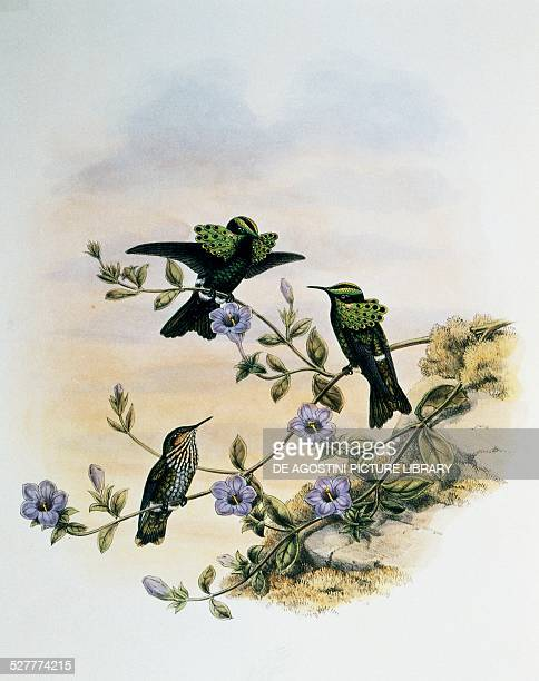 Peacock Coquette engraving from A Monograph of the Trochilidae or Humming Birds by John Gould United Kingdom 19th century