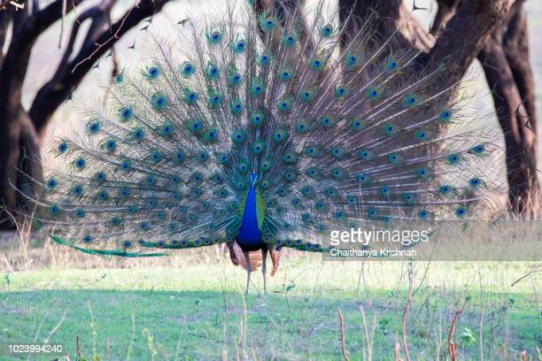peacock dancing front view inside pench tiger reserve during a wildlife safari - pheasant tail feathers stock pictures, royalty-free photos & images