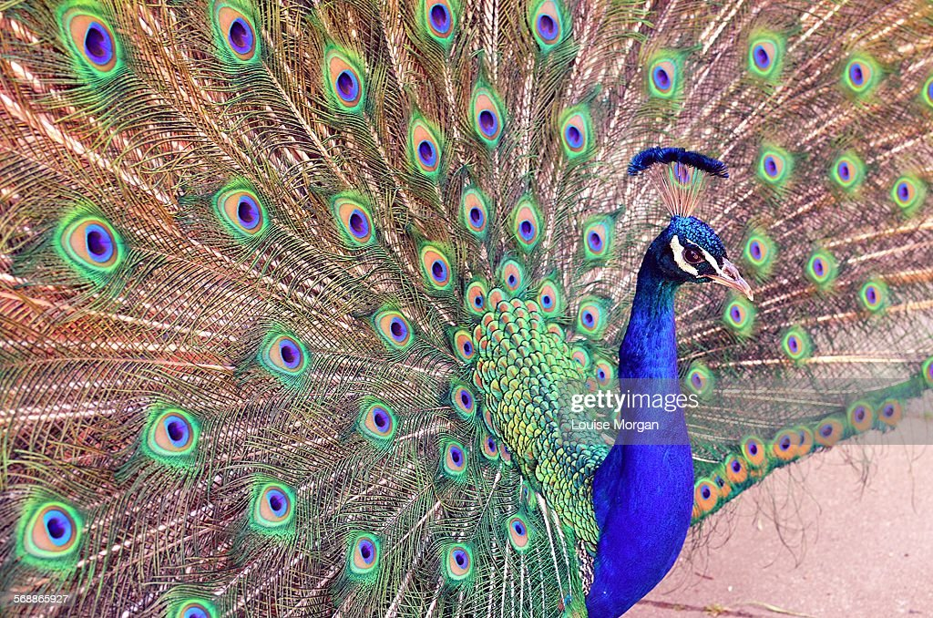 Peacock displaying feathers : Stock Photo