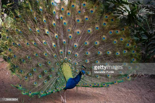 peacock displaying its tail feathers - pheasant tail feathers imagens e fotografias de stock