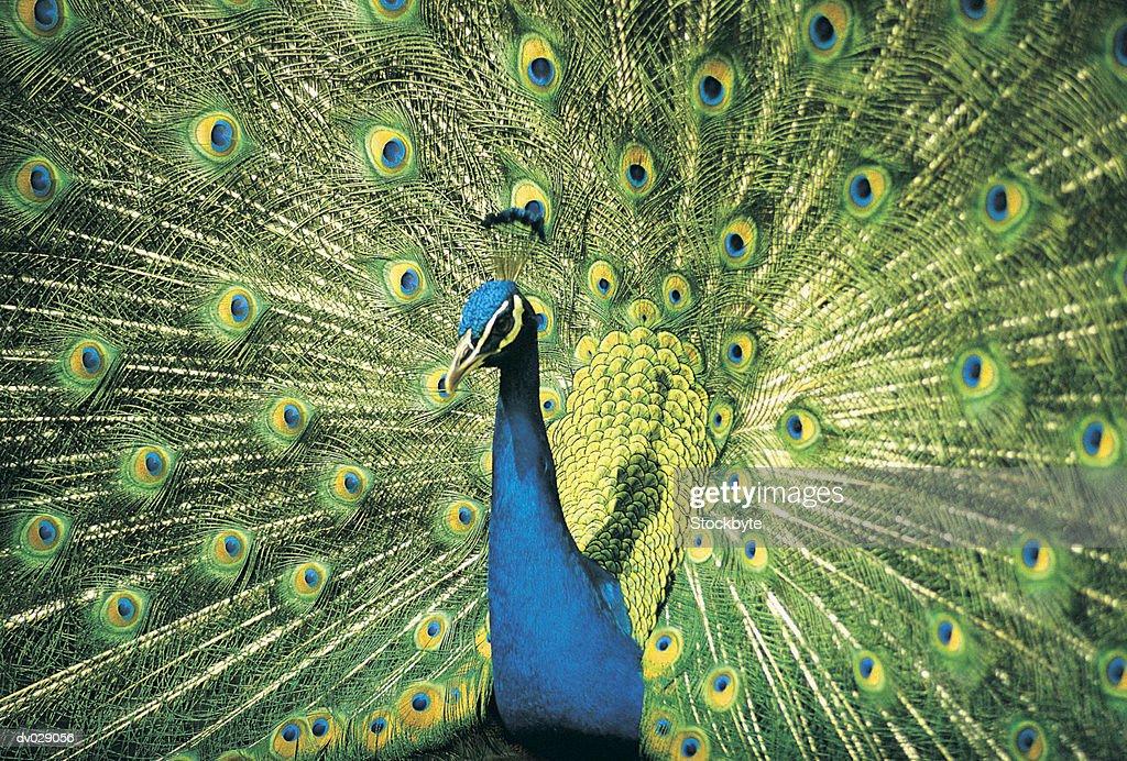 Peacock displaying : Stock Photo