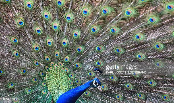 A peacock displays his feathers in a park Geiselwind southern Germany on April 3 2013 AFP PHOTO / KARLJOSEF HILDENBRAND GERMANY OUT