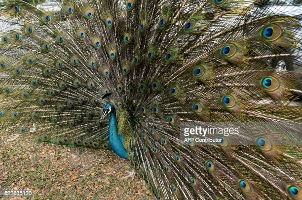 A peacock displays its feathers at Singapore zoo on July 26 2017 / AFP PHOTO / ROSLAN RAHMAN