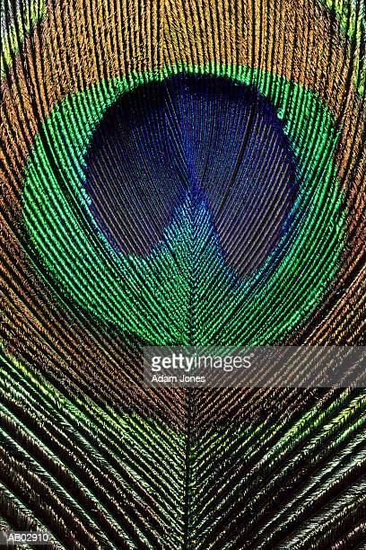 Peacock feather, detail