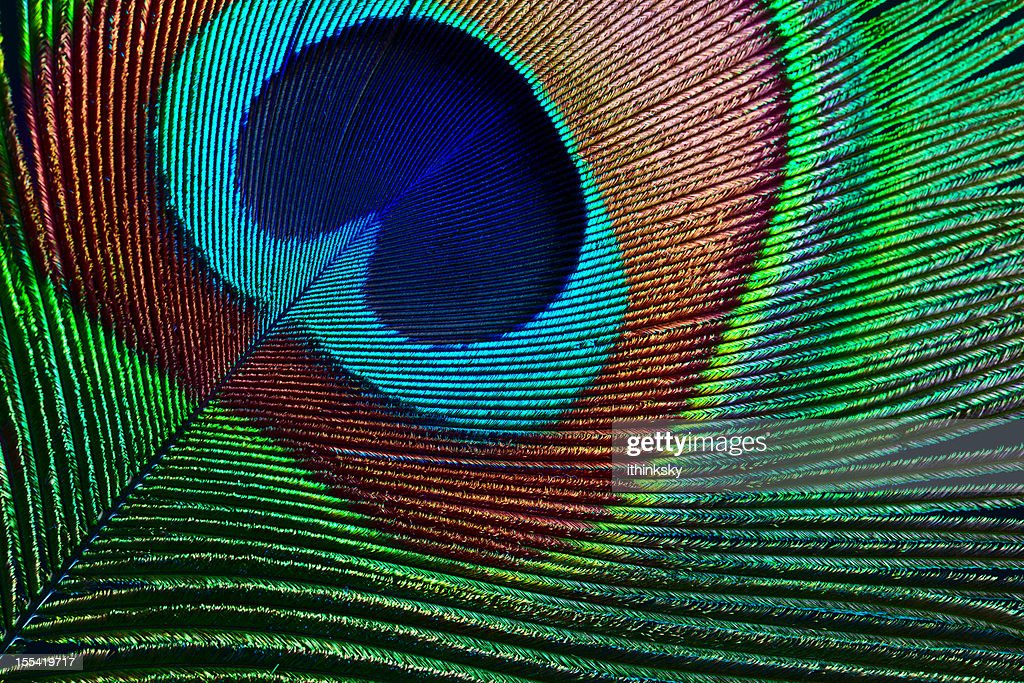 Peacock feather : Stock Photo
