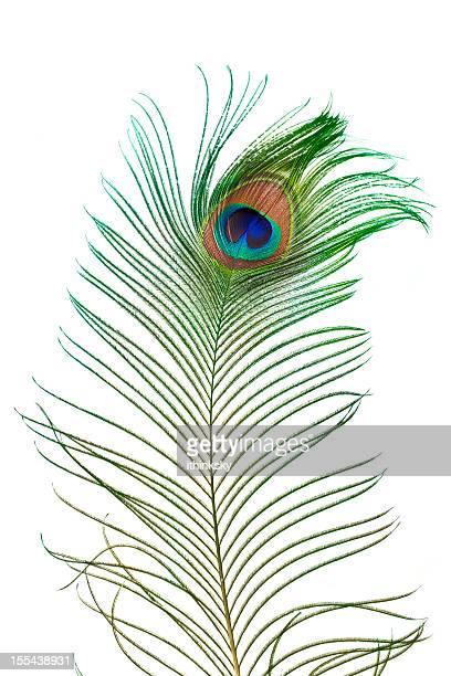 Peacock feather