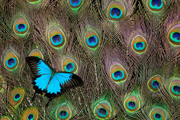 Peacock feathers & blue butterfly
