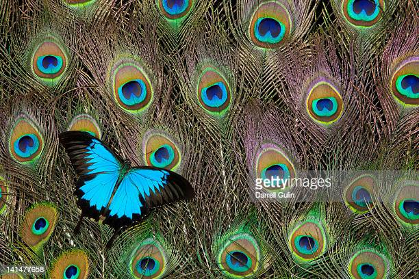 peacock feathers & blue butterfly - ulysses butterfly stock pictures, royalty-free photos & images