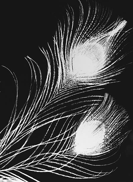 Peacock Feathers Photogram Black And White