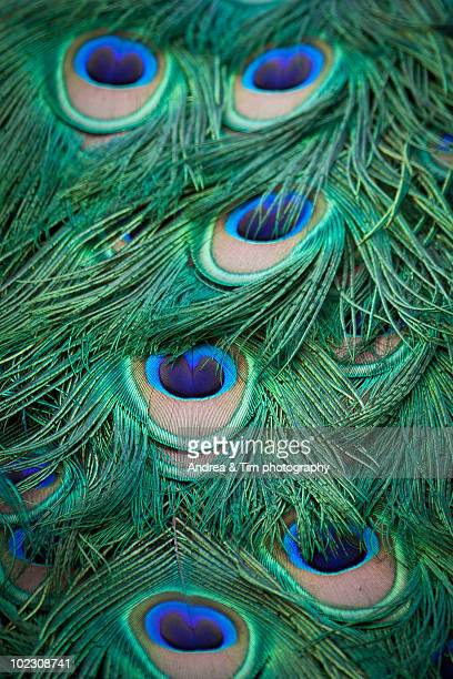 Peacock Feather Wallpaper Stock Photos And Pictures