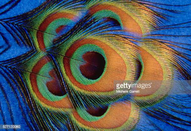 peacock feathers - peacock stock pictures, royalty-free photos & images