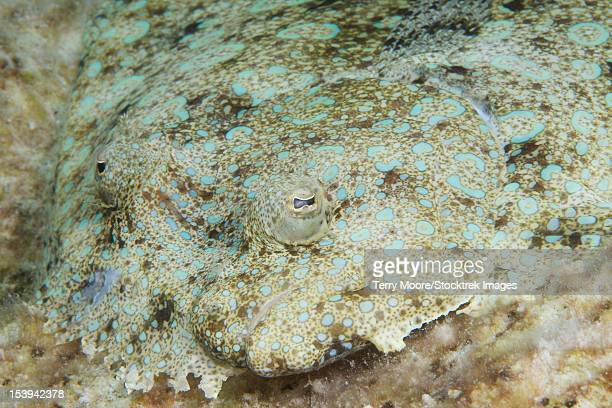 Peacock flounder camouflaged against the sea floor, Bonaire, Caribbean Netherlands.
