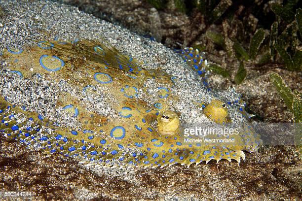 peacock flounder, caribbean - フラットフィッシュ ストックフォトと画像