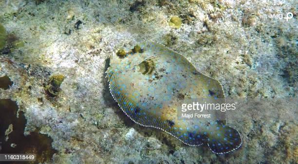 peacock flounder (bothus lunatus) - フラットフィッシュ ストックフォトと画像