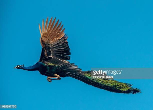 peacock flying - peacock stock pictures, royalty-free photos & images