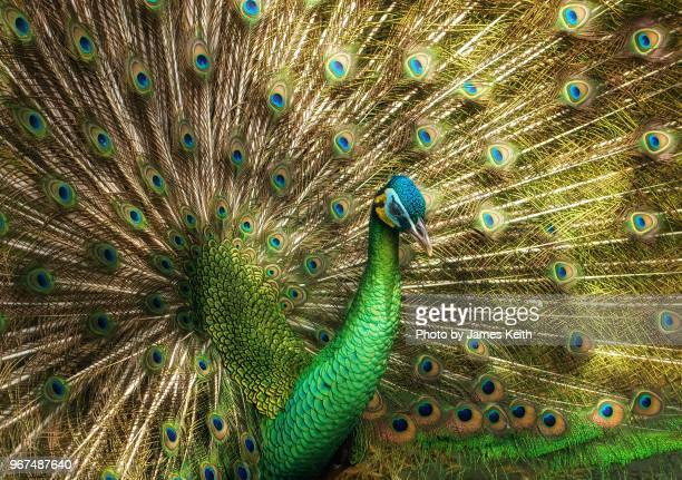 peacock full frontal with feathers extended. - full frontal stock pictures, royalty-free photos & images