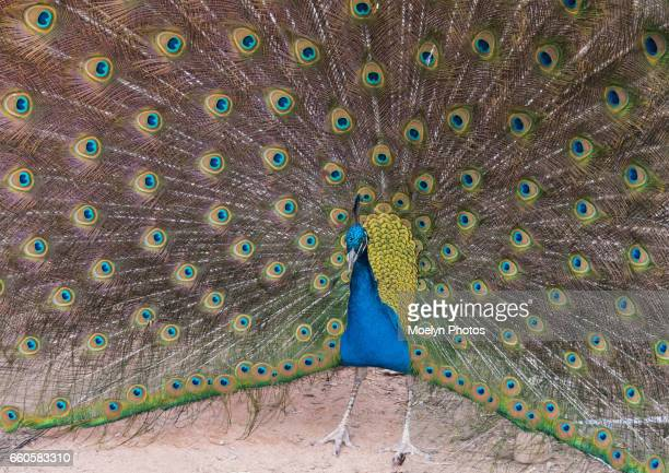peacock in full display - pheasant tail feathers stock pictures, royalty-free photos & images