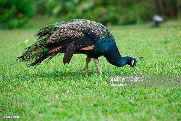 peacock in green grassland