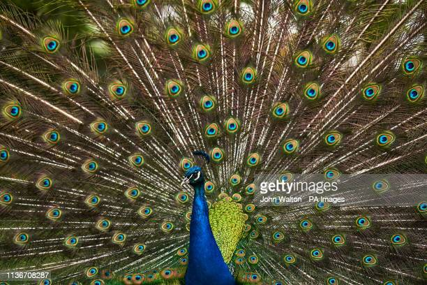 A peacock in Kyoto Garden in Holland Park London