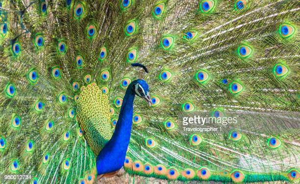 a peacock in ranthambore, india. - ranthambore national park stock pictures, royalty-free photos & images