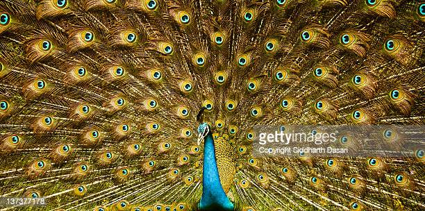 peacock, india - showing off stock pictures, royalty-free photos & images