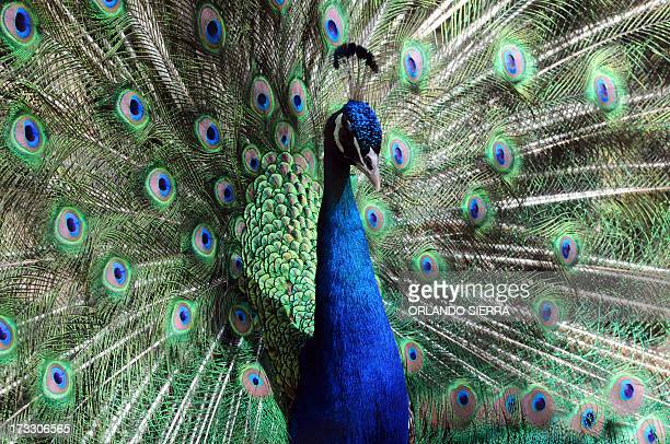A peacock is seen at the Rossy Whalther's Zoo in Tegucigalpa Honduras on July 112013 AFP PHOTO /Orlando SIERRA