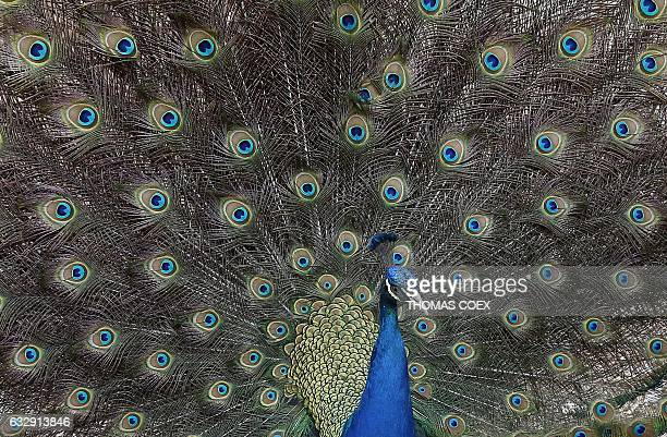 A peacock is seen on January 28 2017 at the zoo of the Israeli kibbutz of Ein Gedi on the Dead Sea / AFP / THOMAS COEX