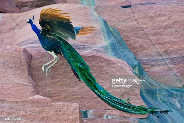 peacock jumping in a rock - peahen stock pictures, royalty-free photos & images