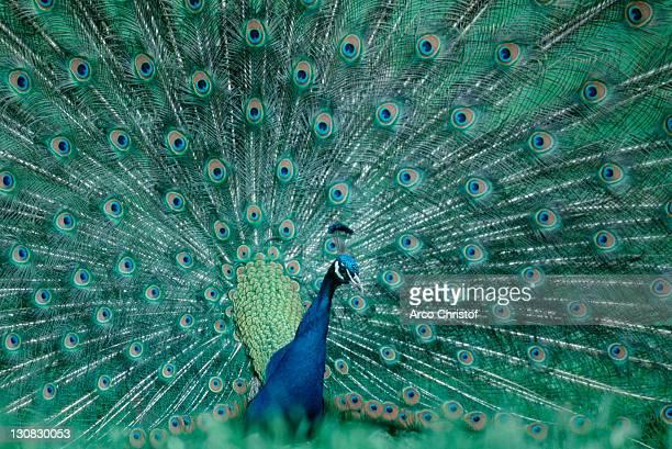 Peacock, male, courting / (Pavo cristatus)