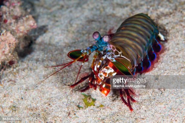 Peacock Mantis Shrimp (Odontodactylus scyllarus) in coral reef