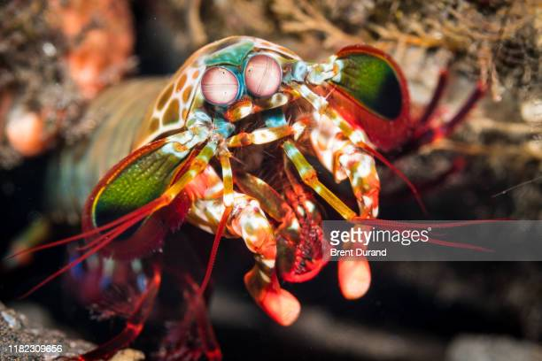 peacock mantis shrimp in tulamben - shrimps stock pictures, royalty-free photos & images