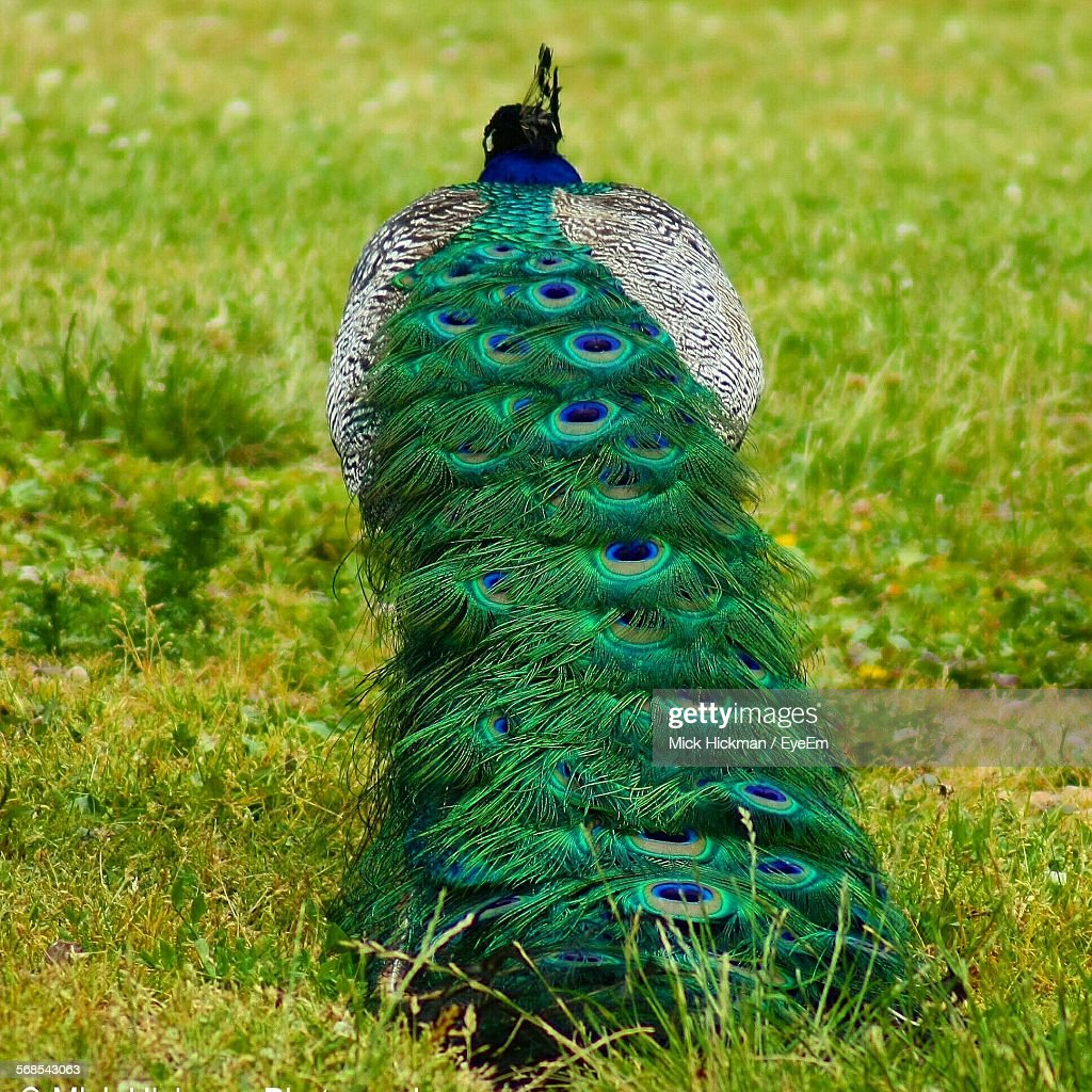 Peacock On Grassy Field : Stock Photo