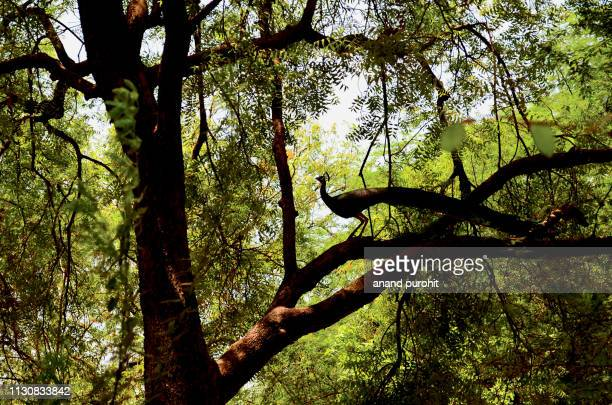 peacock on the tree silhouette - neem tree stock pictures, royalty-free photos & images