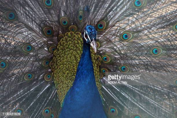 A peacock opens its wings in Ankara's Kecioren Municipality Pet Park on March 14 2019