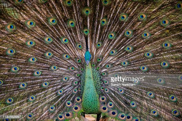 peacock or peafowl wildlife a beautiful vibrant green tail - pheasant tail feathers imagens e fotografias de stock