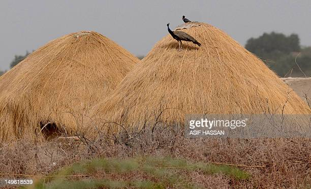 A peacock perches on a hut at Buphohar village in Thar desert part of southern Sindh province on August 1 2012 Dozens of wild peacocks have died...