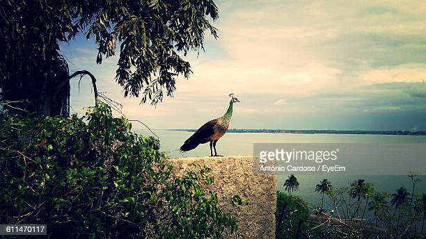 Peacock Perching On Retaining Wall By Lake Against Sky