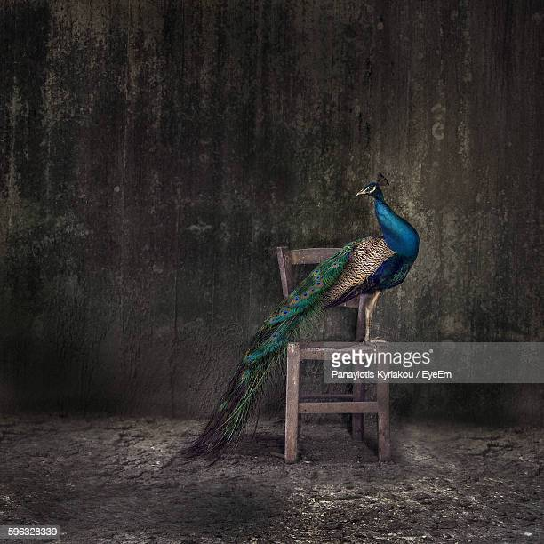 peacock perching on wooden chair against weathered wall - peacock stock pictures, royalty-free photos & images