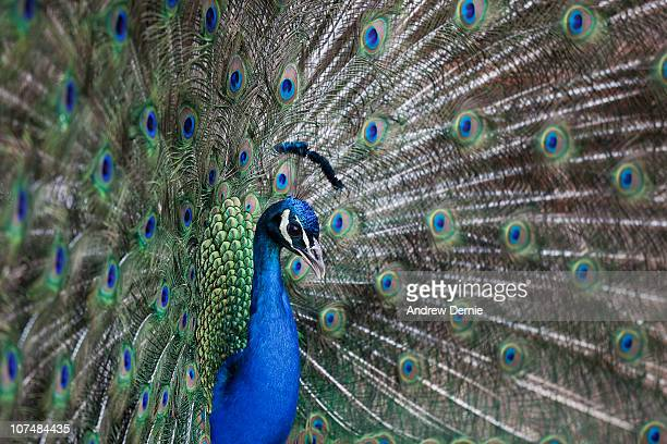 peacock (pavo cristatus) - andrew dernie stock pictures, royalty-free photos & images