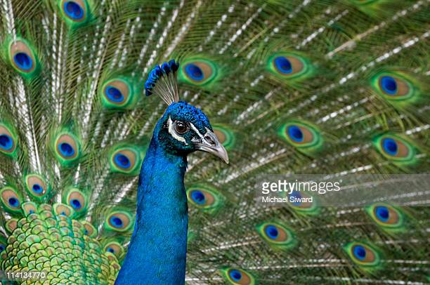 peacock - michael siward stock pictures, royalty-free photos & images