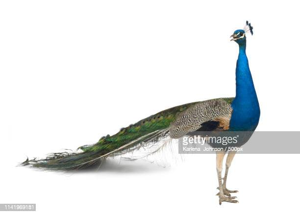 peacock - peacock stock pictures, royalty-free photos & images